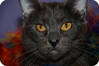 Russian Blue Kitten for adoption in Flower Mound, Texas - Ernie