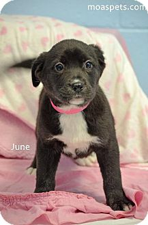 Boxer/American Pit Bull Terrier Mix Puppy for adoption in Danielsville, Georgia - June