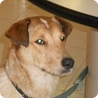Adopt A Pet :: Captain - Lockhart, TX