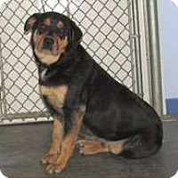 Adopt A Pet :: HENRY - Scottsburg, IN