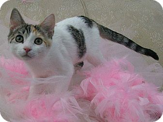 Domestic Shorthair Kitten for adoption in Riverview, Florida - Lilly