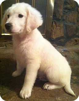 Great Pyrenees/Border Collie Mix Puppy for adoption in Warwick, Rhode Island - Frosty