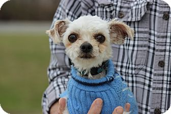 Maltese Dog for adoption in Waterbury, Connecticut - Blanco