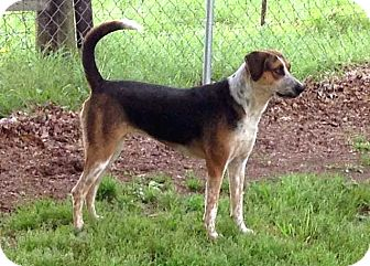 Treeing Walker Coonhound Mix Dog for adoption in Salem, New Hampshire - SHELBY