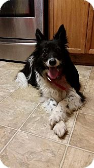 Border Collie Dog for adoption in Allen, Texas - Eliza