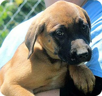 Labrador Retriever Mix Puppy for adoption in Conway, New Hampshire - Isabel