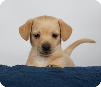 Dachshund/Chihuahua Mix Puppy for adoption in Nuevo, California - Dutch
