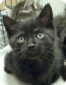 Domestic Shorthair Kitten for adoption in Farmington Hills, Michigan - Sam