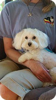 Maltese Dog for adoption in Mount Gilead, Ohio - Angel