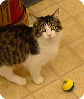 Domestic Mediumhair Cat for adoption in Gardnerville, Nevada - jade