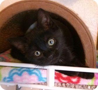 Domestic Shorthair Kitten for adoption in Lisbon, Ohio - Kelli - ADOPTED!