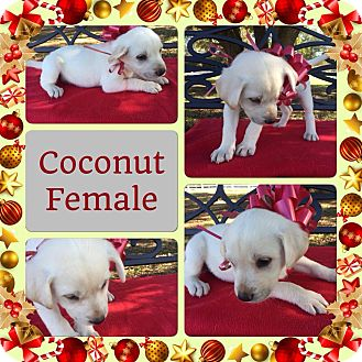 Border Collie Mix Puppy for adoption in Folsom, Louisiana - Coconut