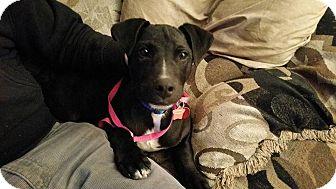 Labrador Retriever Mix Puppy for adoption in Grand Rapids, Michigan - Jack