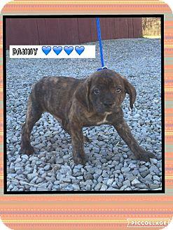 Dachshund/Pug Mix Puppy for adoption in Harrisonburg, Virginia - Danny (Pom)