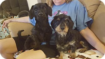 Dachshund Mix Dog for adoption in Rockford, Illinois - Bristol & Daytona