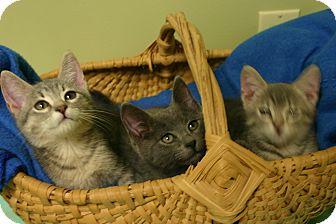 """Domestic Shorthair Kitten for adoption in Hastings, Nebraska - Spider-man """"Kitten"""""""