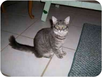 Maine Coon Cat for adoption in Miami Beach, Florida - Millie,FL