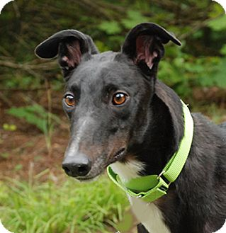 Greyhound Dog for adoption in Ware, Massachusetts - Sting