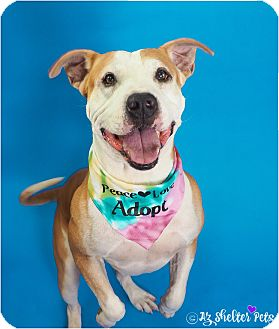 American Staffordshire Terrier/American Pit Bull Terrier Mix Dog for adoption in Phoenix, Arizona - Thomas