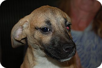 Chihuahua/Pug Mix Puppy for adoption in Lebanon, Tennessee - penny