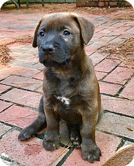 Chow Chow/Labrador Retriever Mix Puppy for adoption in Rochester, New Hampshire - Rosemary