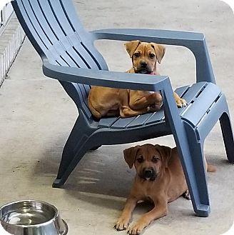 Boxer Mix Puppy for adoption in Iowa, Illinois and Wisconsin, Iowa - Rose