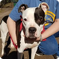 American Staffordshire Terrier Mix Dog for adoption in Negaunee, Michigan - Wilson