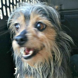 Silky Terrier Mix Dog for adoption in Sunnyvale, California - Harry