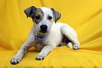 Australian Shepherd/Blue Heeler Mix Puppy for adoption in Westminster, Colorado - Jujubee