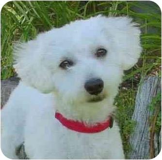 Bichon Frise Mix Dog for adoption in La Costa, California - Chaz