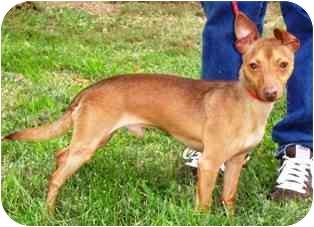 Miniature Pinscher Mix Dog for adoption in Osseo, Minnesota - Peanut