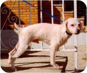 Poodle (Miniature) Mix Dog for adoption in Old Bridge, New Jersey - Willie
