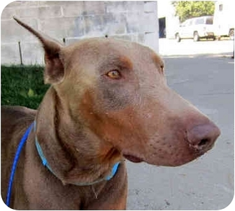 Doberman Pinscher Dog for adoption in Long Beach, California - Alexander