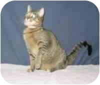 Domestic Shorthair Cat for adoption in Powell, Ohio - Bryann