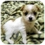 Photo 1 - Shih Tzu/Terrier (Unknown Type, Small) Mix Puppy for adoption in Los Angeles, California - MISO