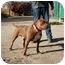 Photo 2 - American Pit Bull Terrier/Labrador Retriever Mix Dog for adoption in California City, California - The Plumbas