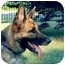 Photo 1 - German Shepherd Dog Dog for adoption in Baldwin, New York - Roxy