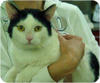 Domestic Shorthair Cat for adoption in Oshkosh, Wisconsin - Timone