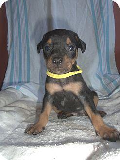 Miniature Pinscher/Rat Terrier Mix Puppy for adoption in Carrollton, Georgia - Finch
