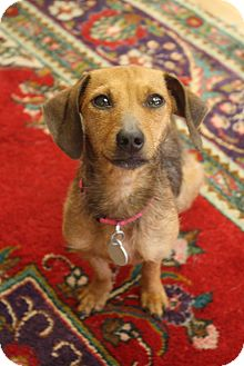 Dachshund/Terrier (Unknown Type, Small) Mix Dog for adoption in Carlisle, Pennsylvania - Blossom