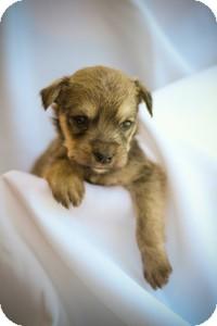 Shepherd (Unknown Type)/Scottie, Scottish Terrier Mix Puppy for adoption in Mission Viejo, California - Puppy1