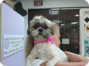 Shih Tzu Dog for adoption in Encinitas, California - Pumpkin