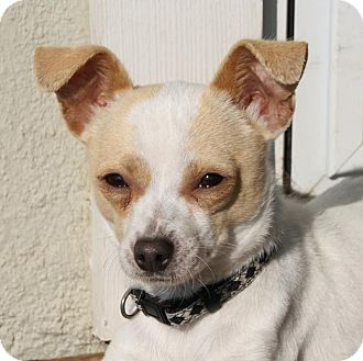 Chihuahua/Terrier (Unknown Type, Small) Mix Dog for adoption in Edmonton, Alberta - Butters