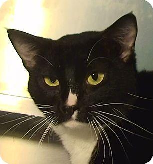 Domestic Shorthair Cat for adoption in El Cajon, California - Chelsea