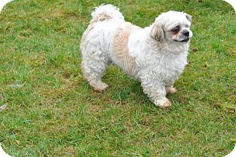 Shih Tzu Mix Dog for adoption in Tumwater, Washington - Blue