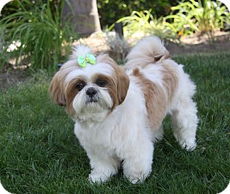 Shih Tzu Dog for adoption in Newport Beach, California - LEXI