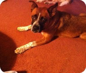 Boxer/Shepherd (Unknown Type) Mix Dog for adoption in Hancock, Michigan - Maddie