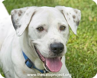 Labrador Retriever/Boxer Mix Dog for adoption in Brooklyn, New York - Benny