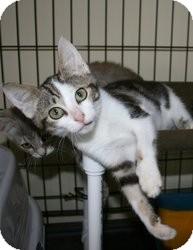 Domestic Shorthair Kitten for adoption in Spring Valley, New York - Etta