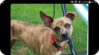 Boxer Mix Dog for adoption in Friendswood, Texas - Lucy